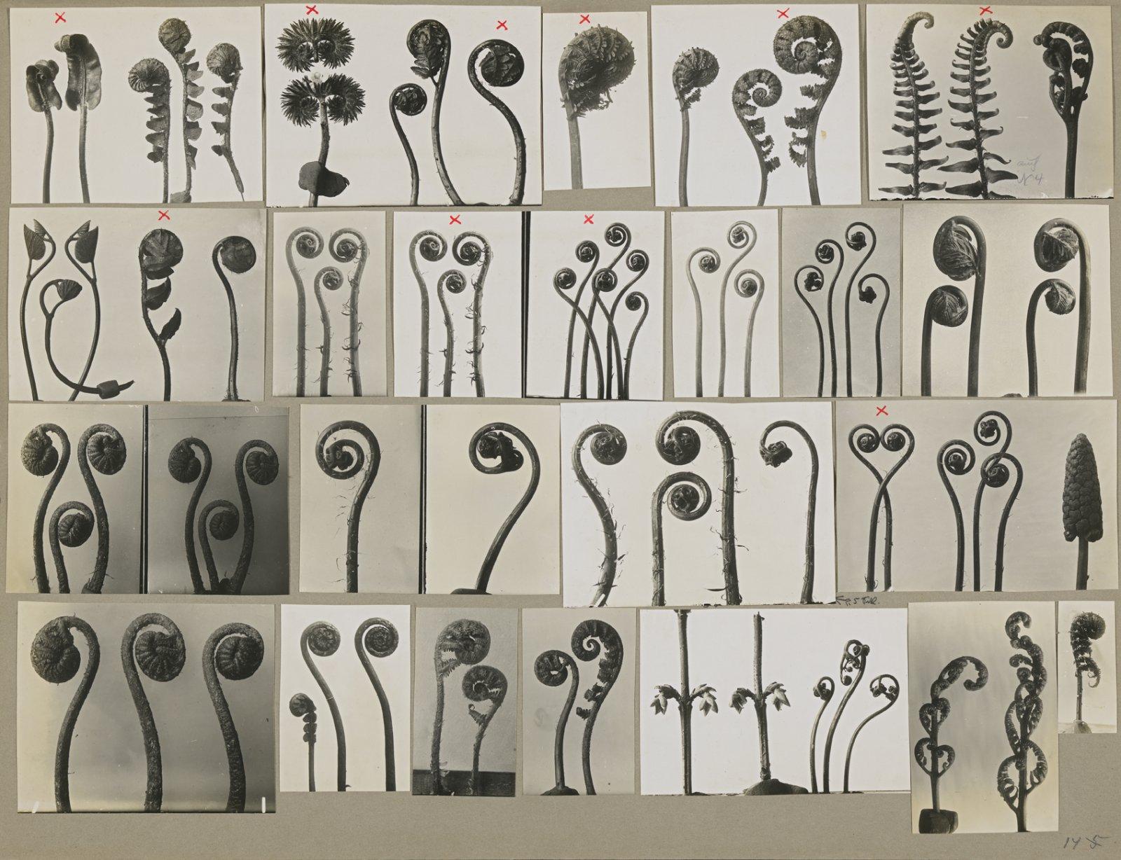 Ferns I, Working collage,  before 1928 © Karl Blossfeldt Archiv / Stiftung Ann und Jürgen Wilde, Pinakothek der Moderne, München