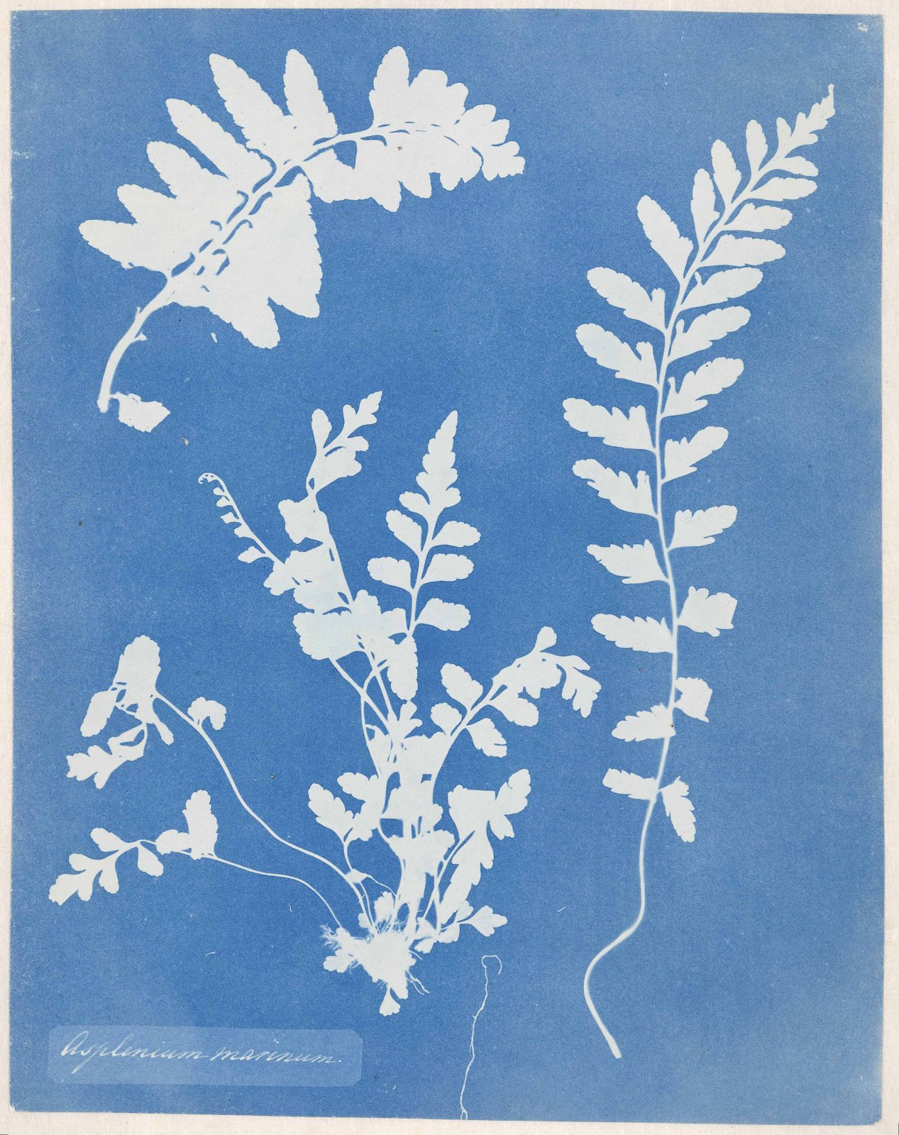 Photogram of a Asplenium marinum (Asplenium marinum) © Anna Atkins / Loan of Rijksmuseum